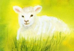 Postcard: The white lamb