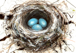 Blue eggs in nest