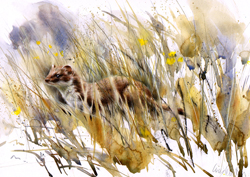 Stoat in long grass