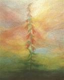 Postcard: Foxglove