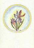 Postcard: Spring crocus